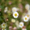 身近な野花