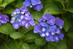 雨後の紫陽花