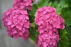 紅の紫陽花