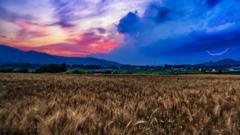 小麦畑の目覚め