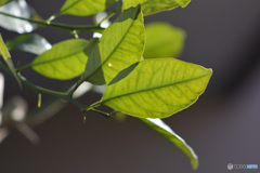 夏ミカンの葉