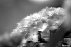 無彩紫陽花
