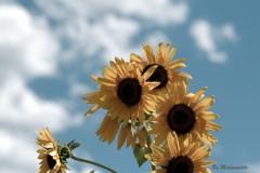 夏空と向日葵