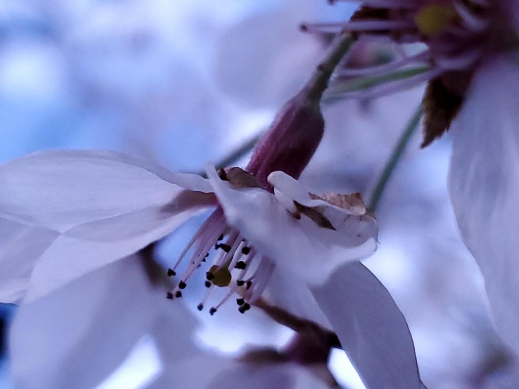雨上がりのうつむく桜花