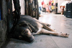 A dog in INA market