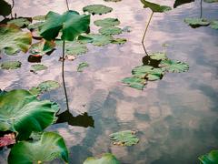 花の季節がやってきそうな蓮の池