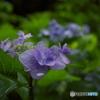 梅雨時紫陽花散歩1