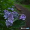 梅雨時紫陽花散歩3