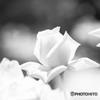貴公子のように ☆追憶の白薔薇☆
