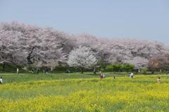 権現堂堤 桜