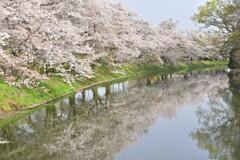 つくばみらい市 桜
