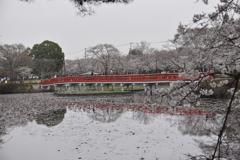 岩槻城址公園 桜