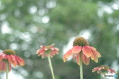 「Echinacea」