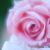 「薔薇は・・・」