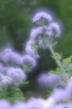 「霍香薊」