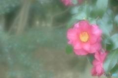 「Camellia sasanqua」