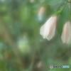 「Sleeping hibiscus」