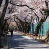 静かな桜並木