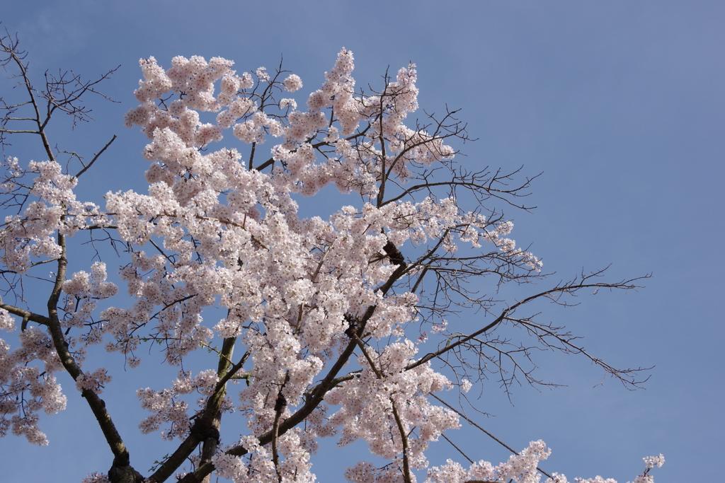 栗林公園の桜1