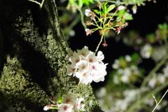 栗林公園の桜4