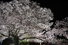 栗林公園の桜3