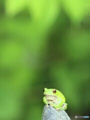 Forest Green Tree Frog