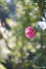 Rose of sharon*