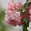 薔薇色のバラ