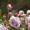 ノヴァーリスという薔薇