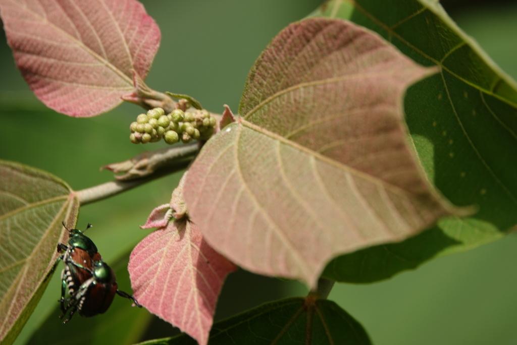 アカメガシワの葉陰で