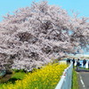 一本の桜 1