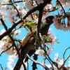 一本の桜 5