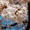 交通公園の桜1
