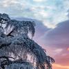 朝焼けと枝垂れ桜