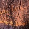 朝焼けの枝垂れ桜