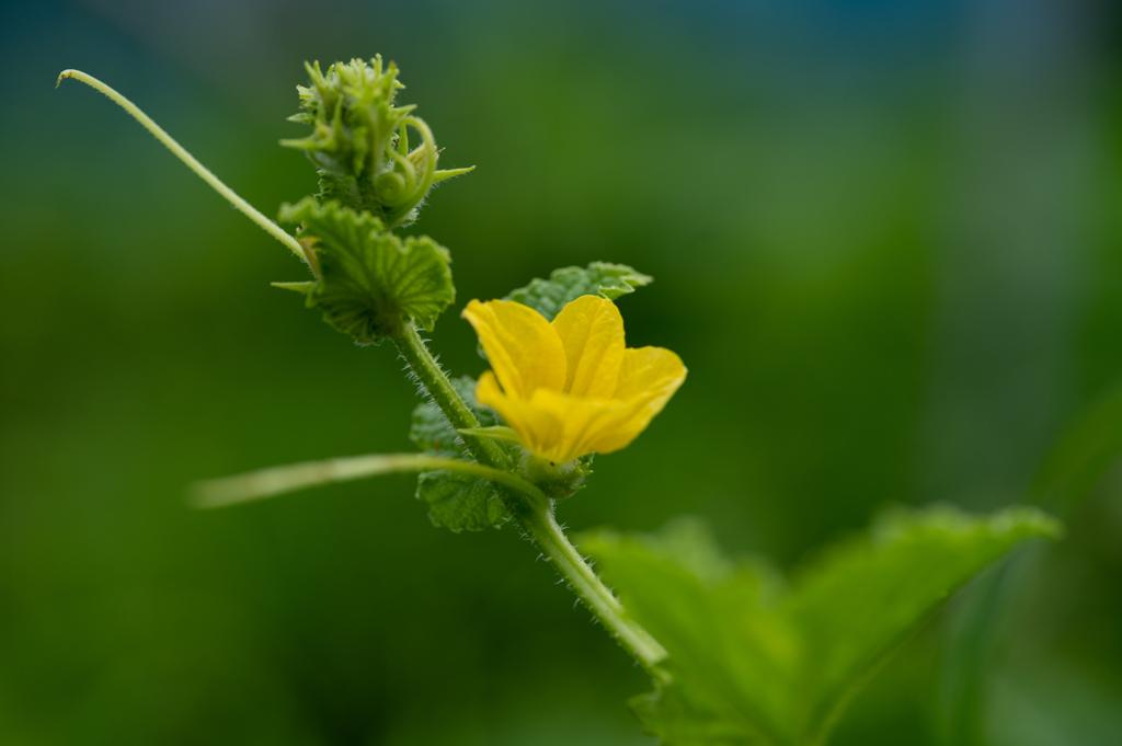 マクワウリの花