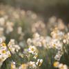 水仙の花 その1