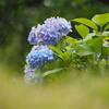 鶴見緑地の紫陽花