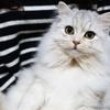 猫 シルバータビー