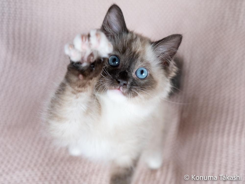 子猫 ラグドール