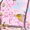 淀の河津桜-2