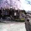 鹿も楽しむ春