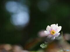 早春の妖精 16