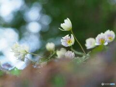 早春の妖精 15