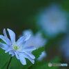 早春の妖精 13