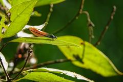 アサヒナカワトンボ 未成熟♂(橙色翅型)