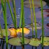 ホソミオツネントンボ 集団産卵