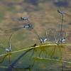 ホソミイトトンボ(越冬型) 集団産卵