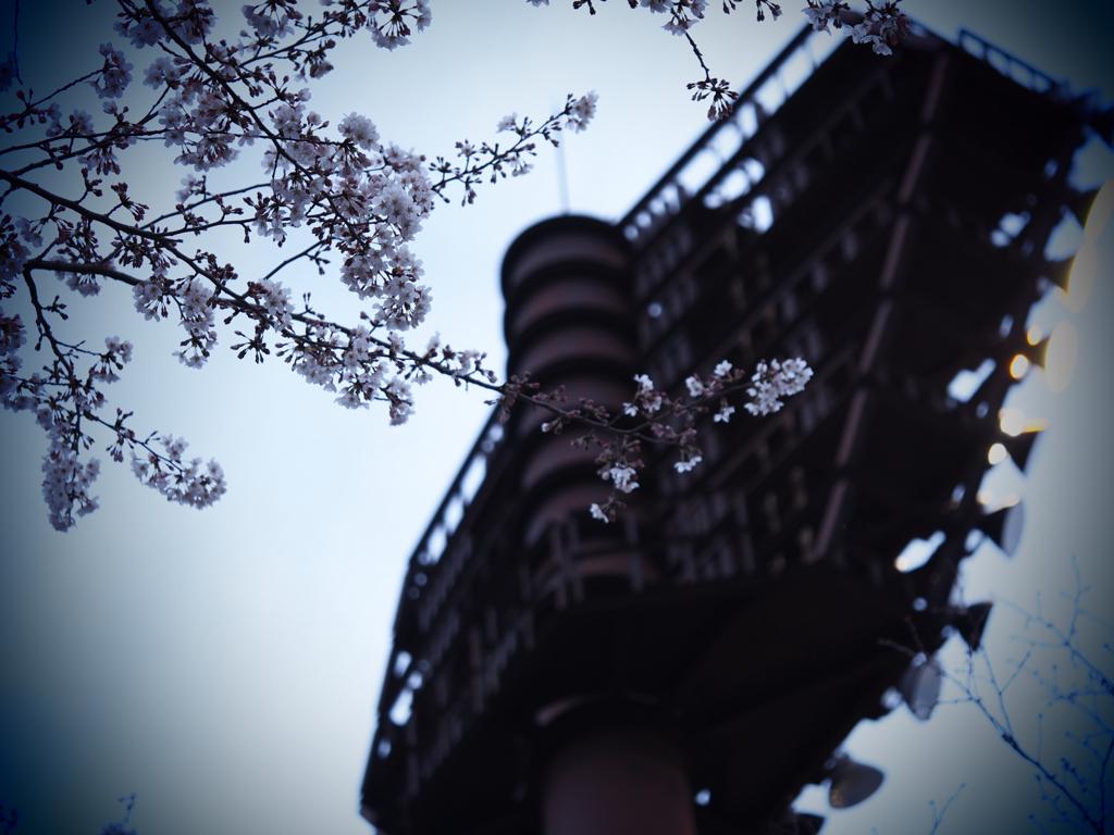 野球場周辺で花見