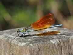 アサヒナカワトンボ ♂(橙色翅型)